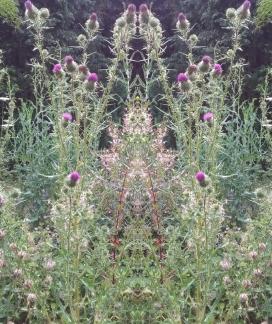 20200801 Distel Spiegelbild ChrisTina Maywald