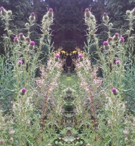 20200808 Distel Spiegelbild ChrisTina Maywald