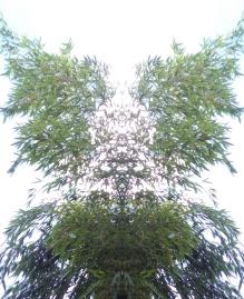 20200812 Bambus Spiegelbild ChrisTina Maywald