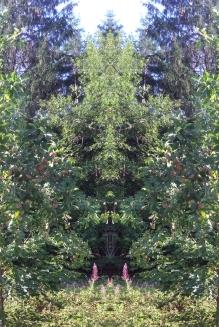 20200814 ObstBaum Spiegelbild ChrisTina Maywald