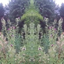 20200815 Distel Spiegelbild ChrisTina Maywald