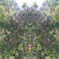 20200821 ObstBaum Spiegelbild ChrisTina Maywald