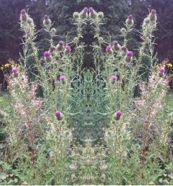 20200822 Distel Spiegelbild ChrisTina Maywald