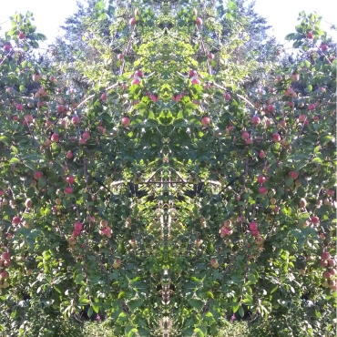 20200828 ObstBaum Spiegelbild ChrisTina Maywald