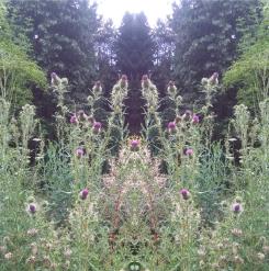 20200829 Distel Spiegelbild ChrisTina Maywald